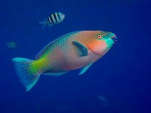 Pfish