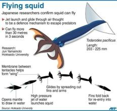 Week 4 blog Flying Squid