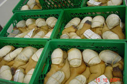 geoducks_forsale_small