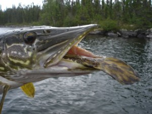 Pike eating Burbot