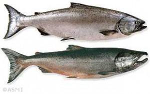 salmon_species_chinook-1