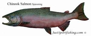 Chinook_Salmon_Spawning