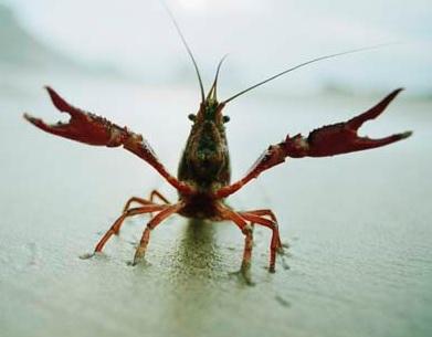 crayfish-on-shore