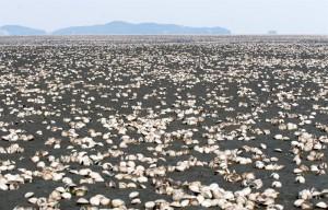 graveyard-of-shellfish-after-the-embankment-of-saemangeum-south-korea_31df-800x512px