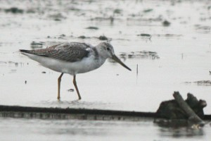 nordmanns-greenshank_nm-1-scaled1000