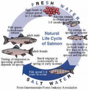 salmon02a