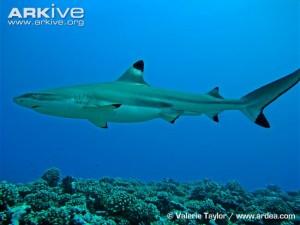 Male-blacktip-reef-shark