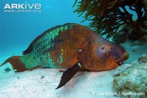 Rainbow-parrotfish-on-sea-floor