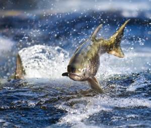 475984_Salmon-Restoration_Rand