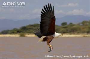 African-fish-eagle-fishing-over-lake