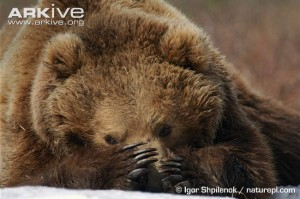 Brown-bear-resting-Russian-population