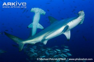 Scalloped-hammerheads-swimming-with-shoal-of-fish
