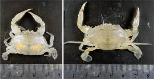 crab_97010