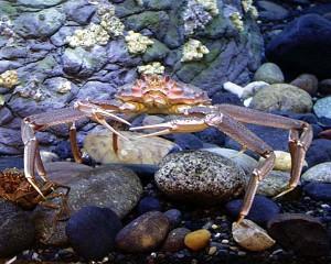 crabbairdi