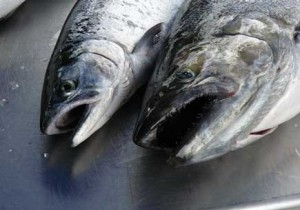 lake-huron-s-chinook-salmon-fishery-unlikely-to-recover-due-to-ongoing-food-shortage-coho-chinook-lead-20160314