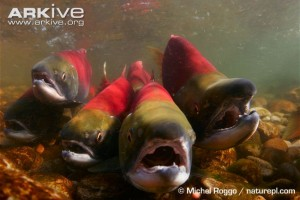 sockeye-salmon-migrating-upstream-to-spawn