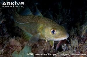 Atlantic-cod-on-reef